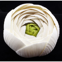 Ranunculus Rose White Large 75mm (Box 6)