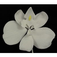 Phalaenopsis White 110mm Each